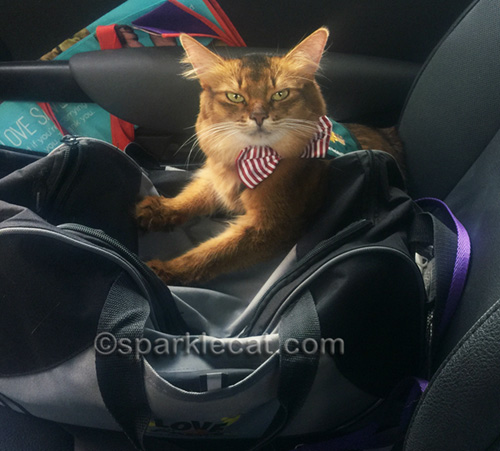 therapy cat ready to go visiting
