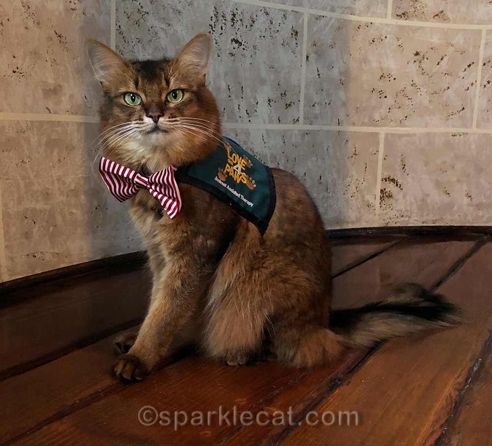 somali cat wearing therapy vest and bow tie