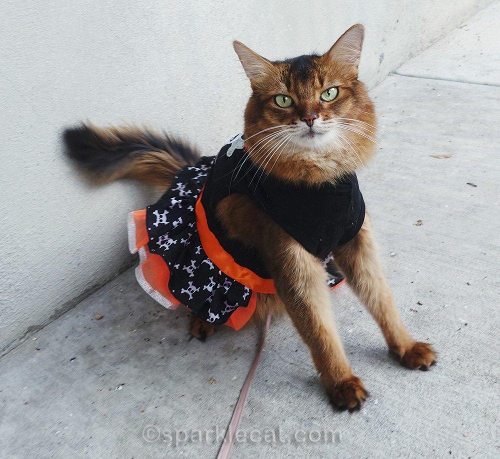 somali cat posing in orange and black fall feline fashion
