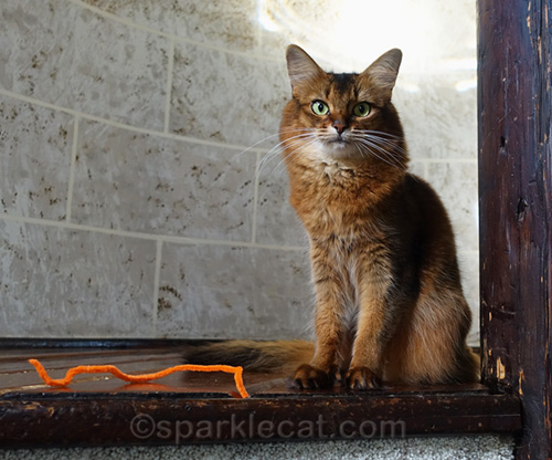 somali cat with her pipe cleaner