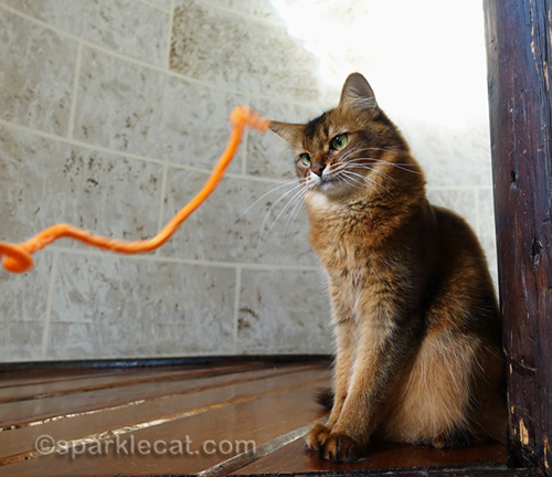 somali cat getting ready for pipe cleaner playtime