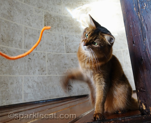 somali cat about to whap pipe cleaner
