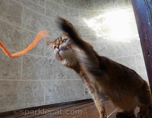 somali cat whapping pipe cleaner with other paw