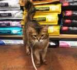 somali cat in front of bags of cat food at pet shop