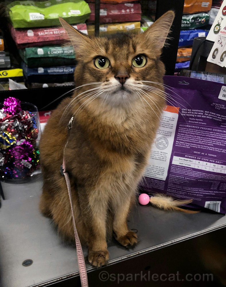 somali cat on counter of pet shop while checking out