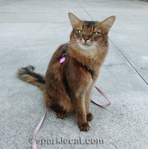 somali cat hanging outside on leash on back patio