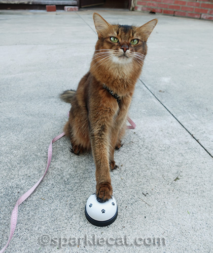 somali cat on pavement, ringing a bell
