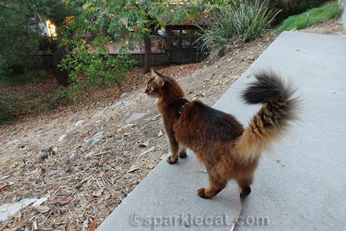 somali cat looking out at backyard