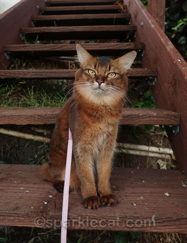 somali cat on wooden stairs