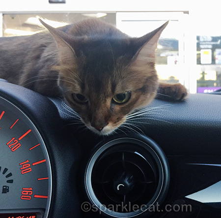 Somali cat, Mini Cooper, Mini Cooper dashboard, cat in car, cat on dashboard