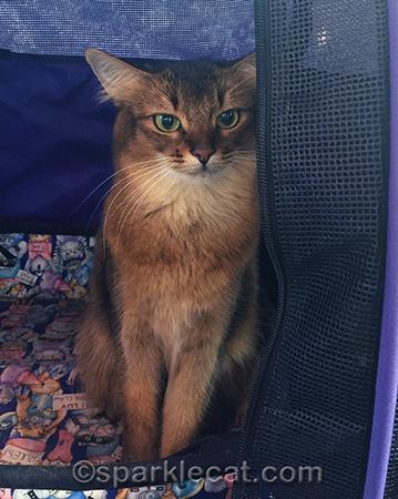 Somali cat, cat show, show cat