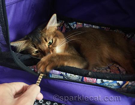 Somali cat, cat toy, pipe cleaner, cat show