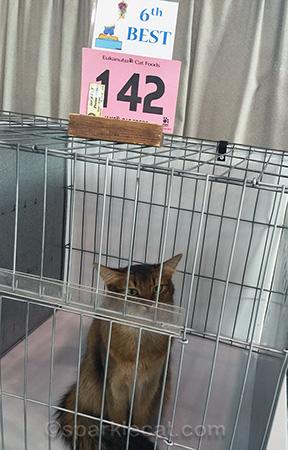Somali cat, cat show, cat show judging ring, cat show final