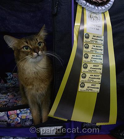 Somali cat, show cat, cat show, cat show ribbon, cat show wins