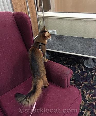 Somali cat, pet friendly hotel, La Quinta