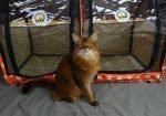 Somali Ambassador cat in front of her new SturdiShelter