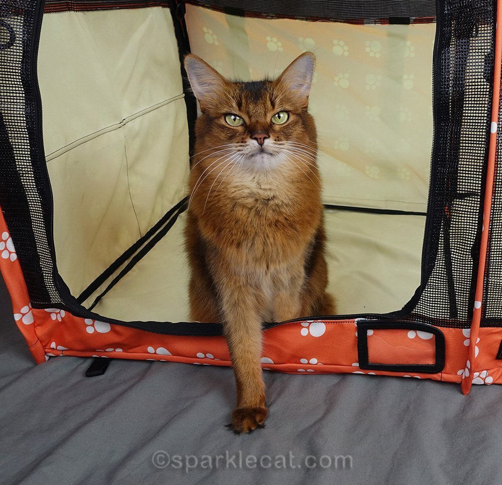 CFA Ambassador Cat sitting in new SturdiShelter