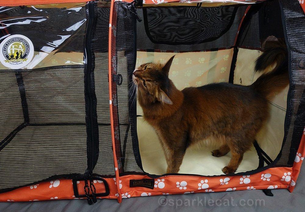 ambassador cat rubbing on sturdi shelter