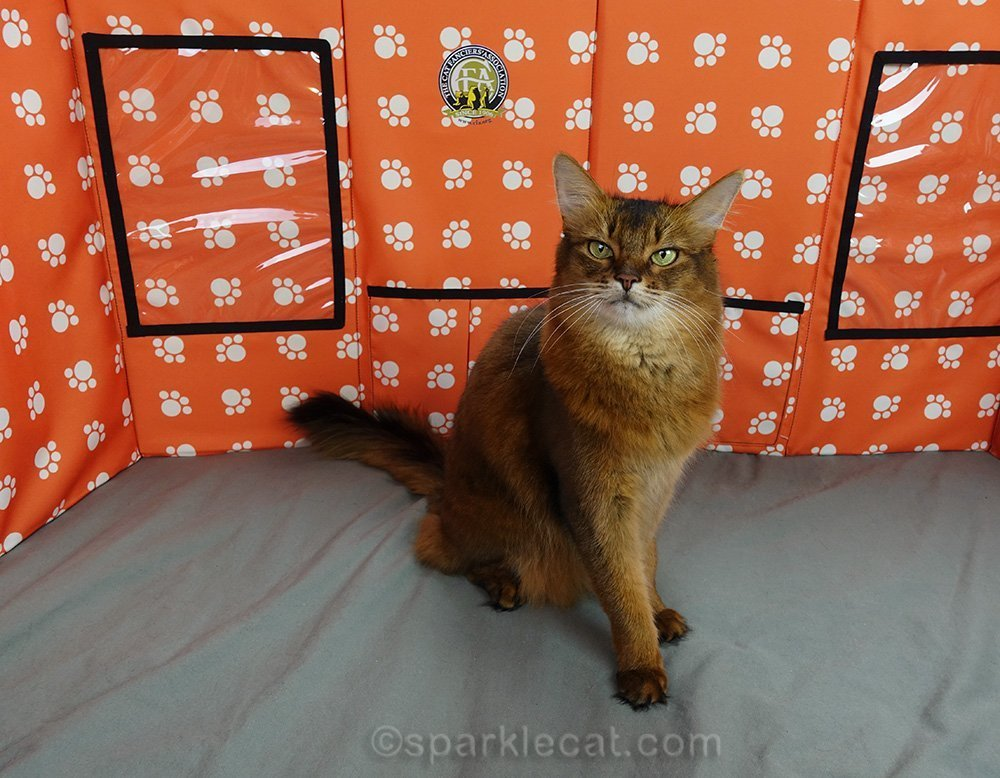 somali ambassador cat sitting in front of grooming partition