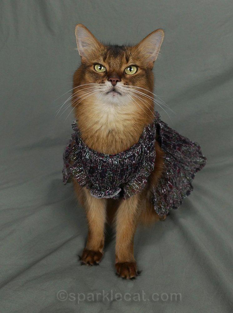 front shot of somali cat in dress