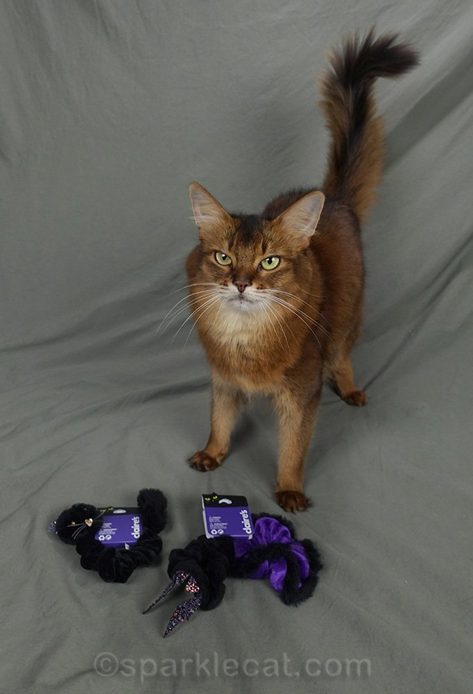 somali cat looking dubious about hair ties