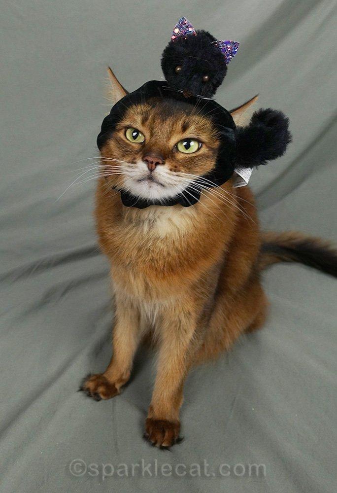 somali cat wearing cat head hair tie as headwear