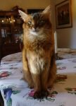 somali cat sitting on dining room table