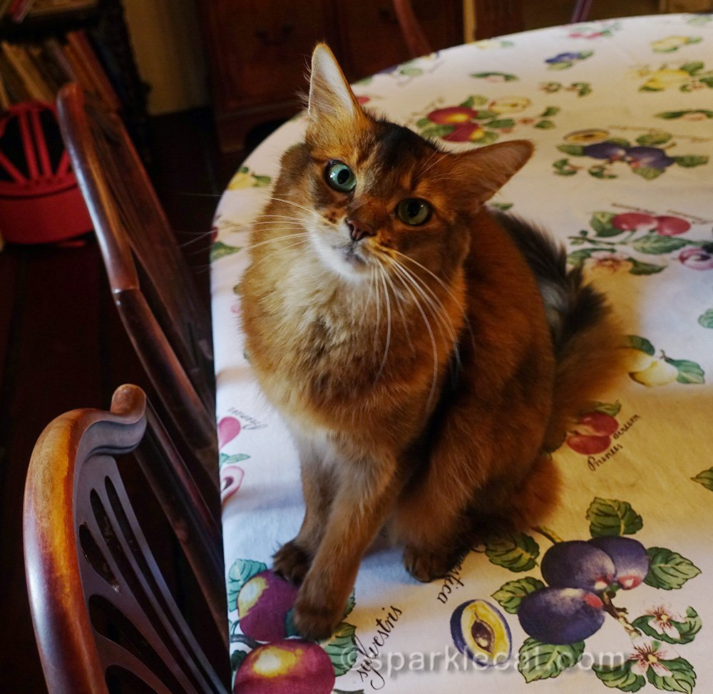 somali cat wearing her where is my dinner look