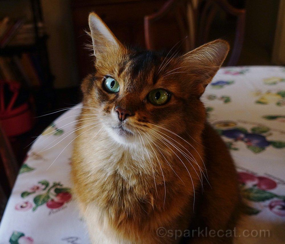 somali cat portrait on dining table