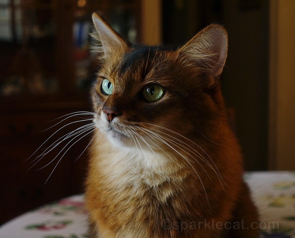 somali cat with natural light