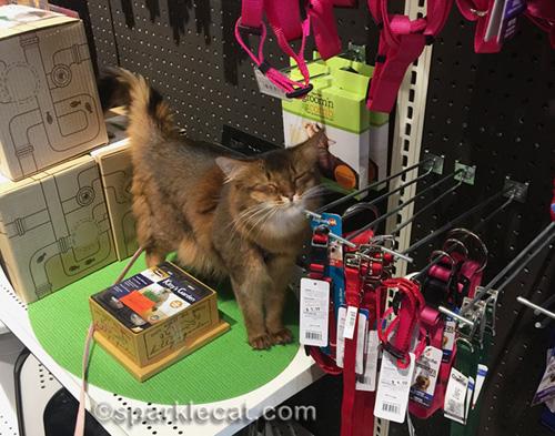 somali cat at pet shop with eyes shut