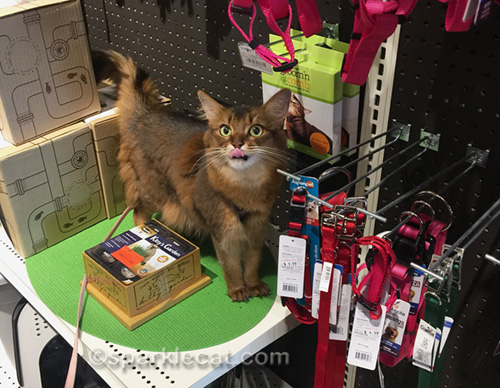 somali cat at pet shop with tongue out