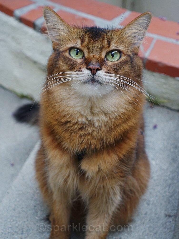 Somali cat posing for photo