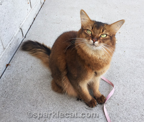somali cat on a nice fall day