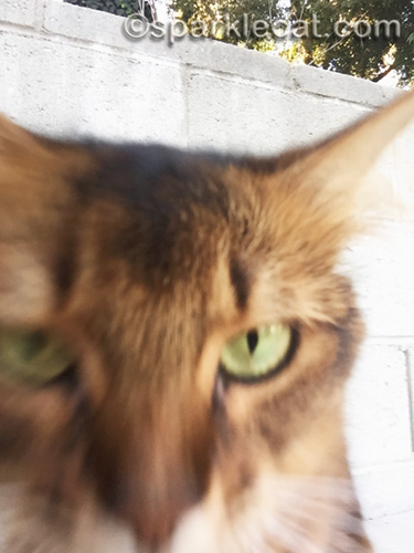 closeup of somali cat trying to adjust iphone for selfie