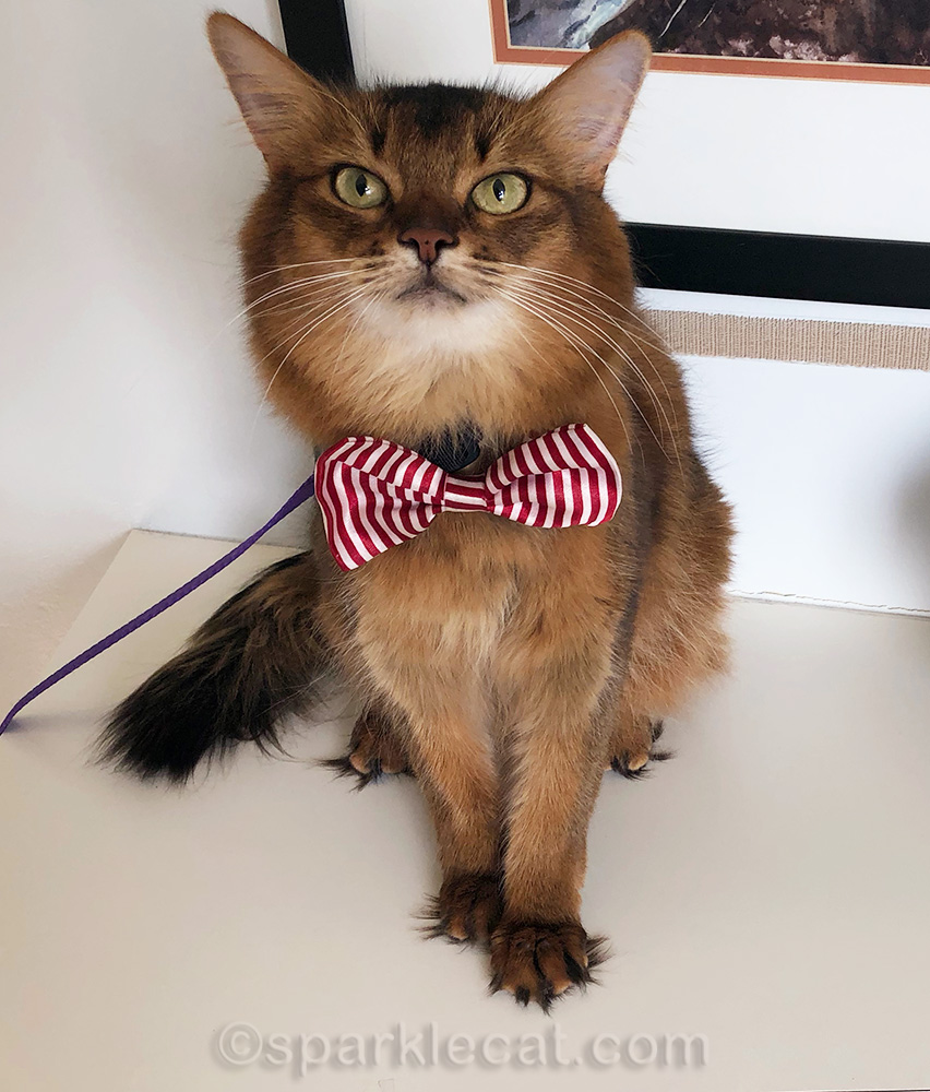 Therapy cat ready to offer purr therapy
