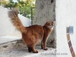 photo of somali cat from behind