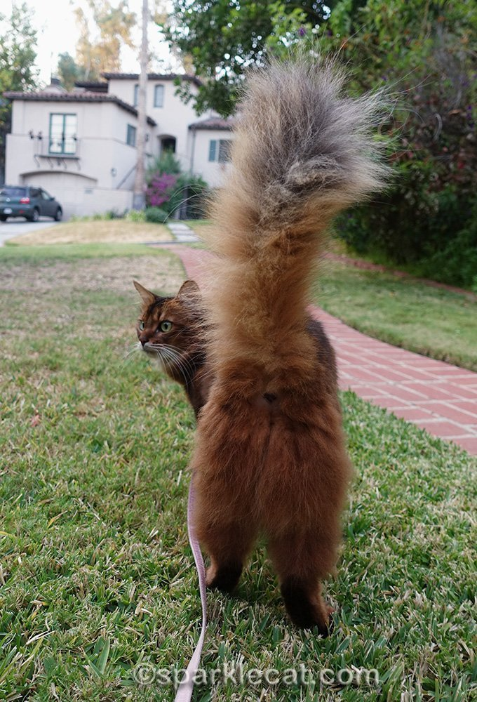 somali cat on leash, from behind