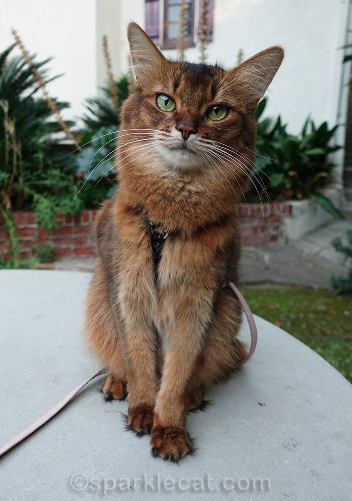 somali cat sitting on concrete table