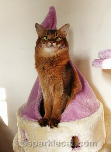 somali cat in castle cat tower