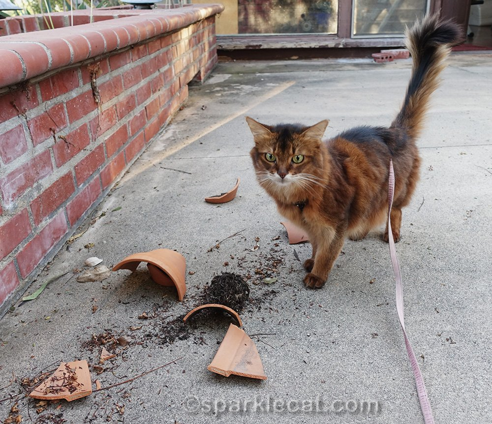 somali cat looking over the wreckage the squirrel left.