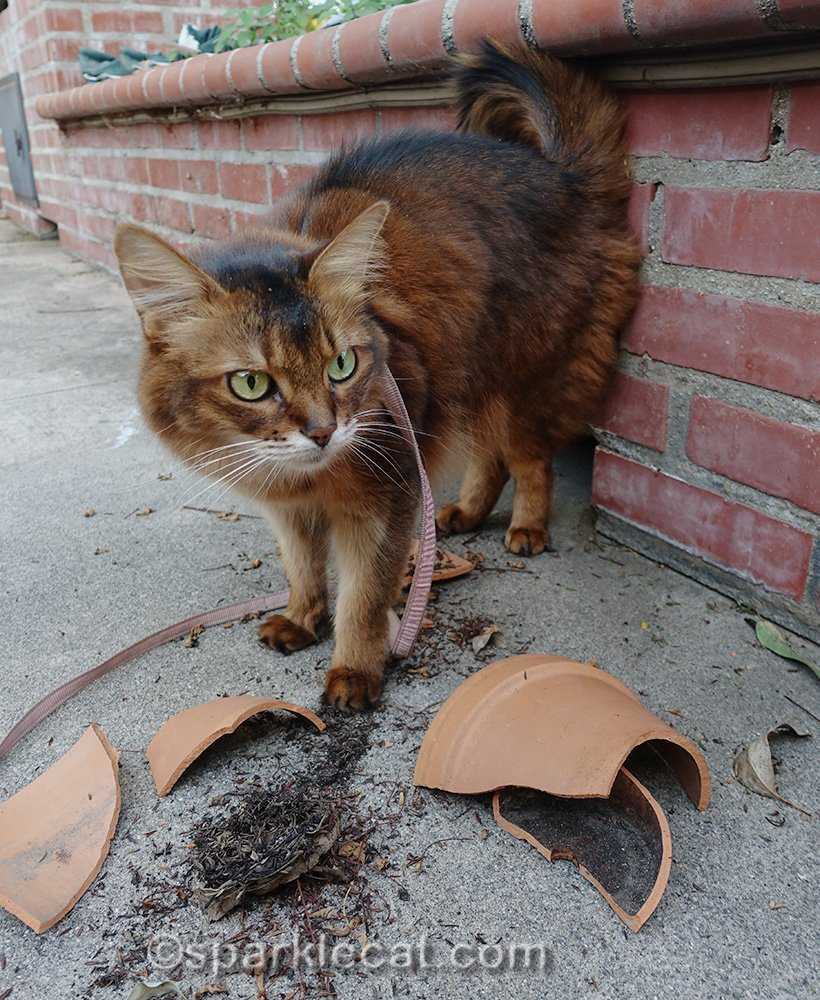 somali cat looks at wreckage caused by squirrel