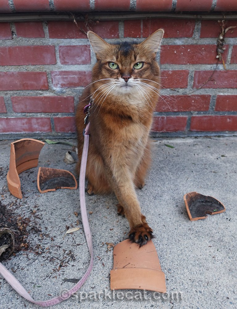 somali cat with paw on clay pot piece, looking sketchy