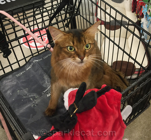 somali cat with new holiday dress at pet store