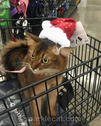 somali cat with too-big Santa hat