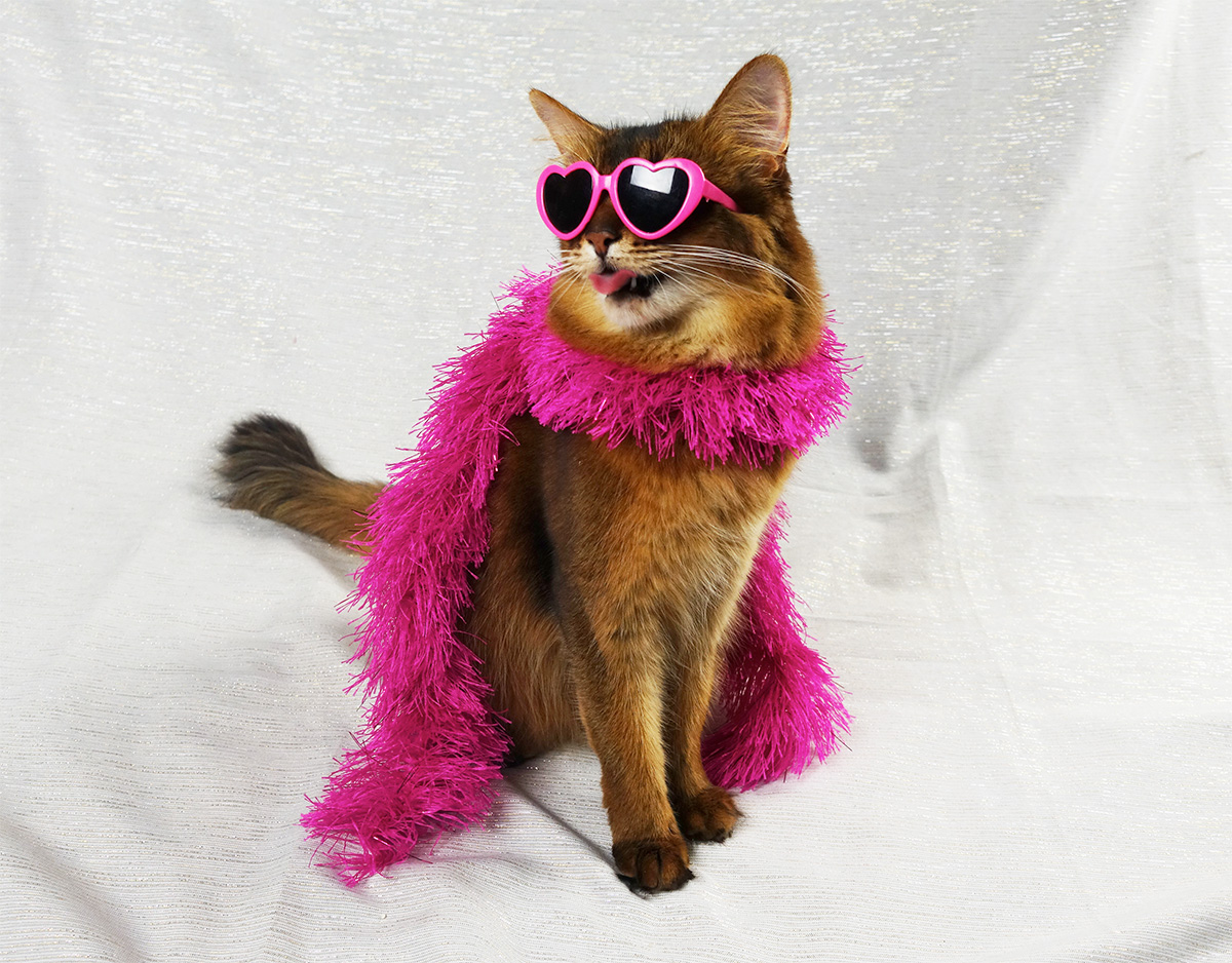 somali cat in pink boa with tongue sticking out