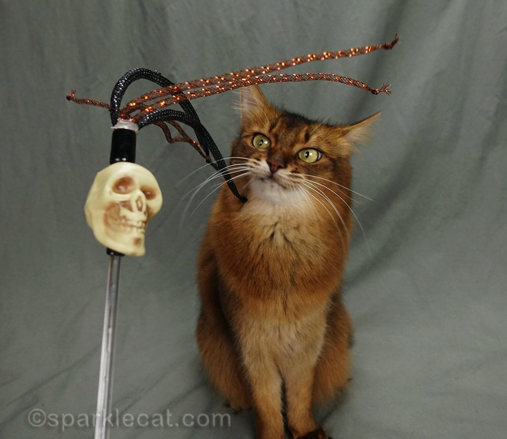 somali cat staring at zombie toy