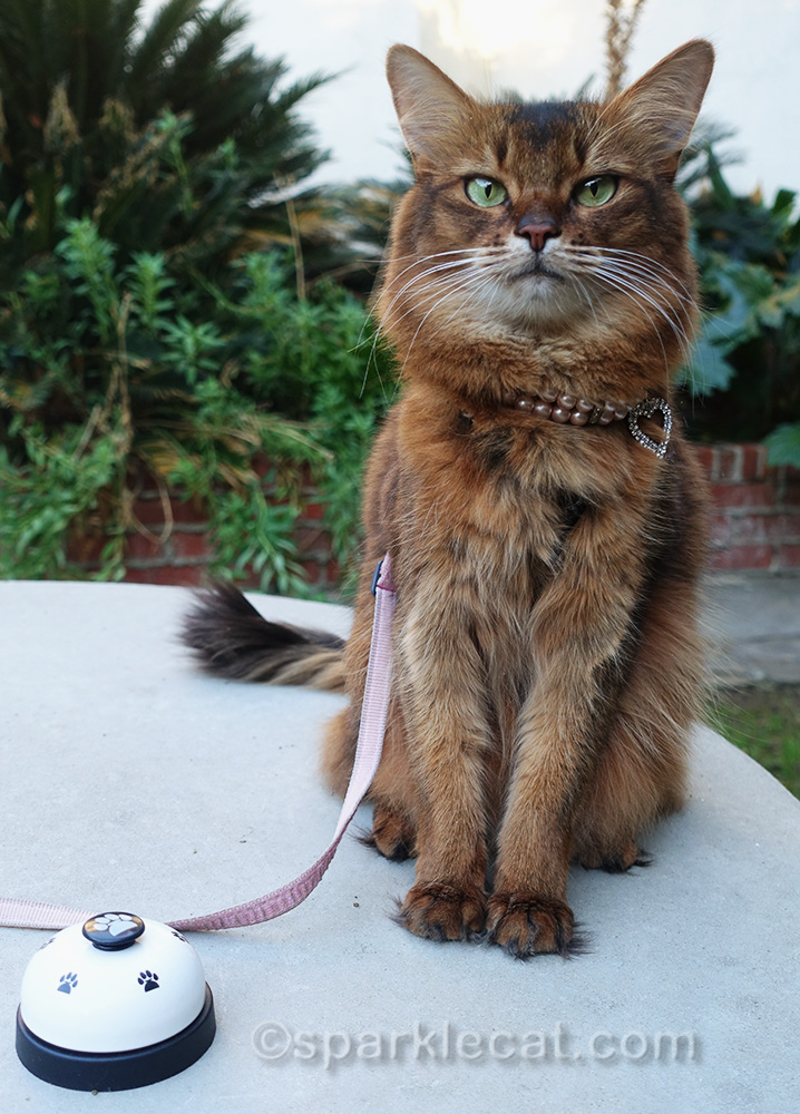 somali cat outside with necklace askew