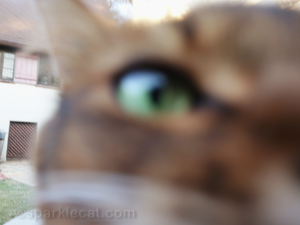 somali cat face up to camera