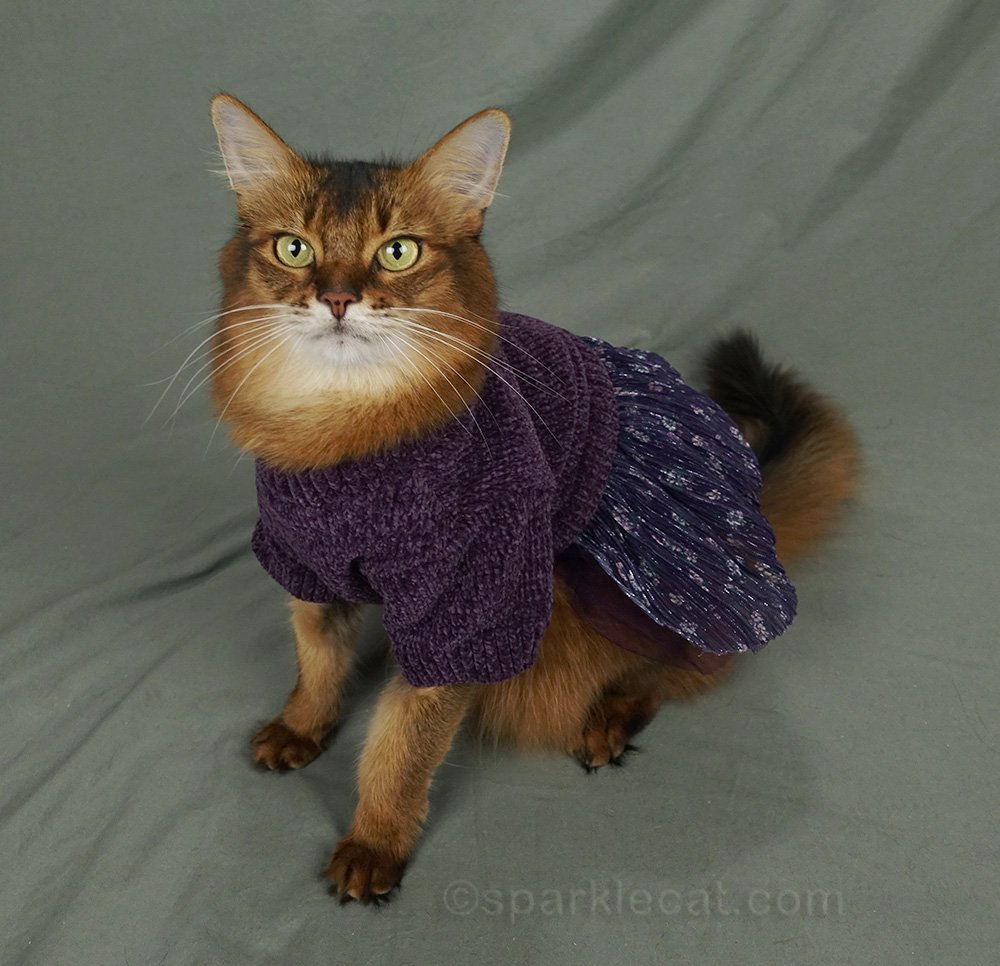 somali cat with purple sweater dress on, side view